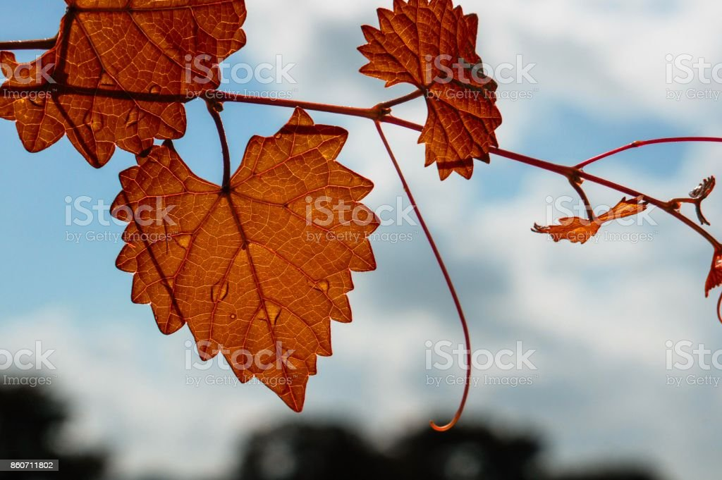 autumn heart shaped  jagged leaf on a vine in selective focus stock photo