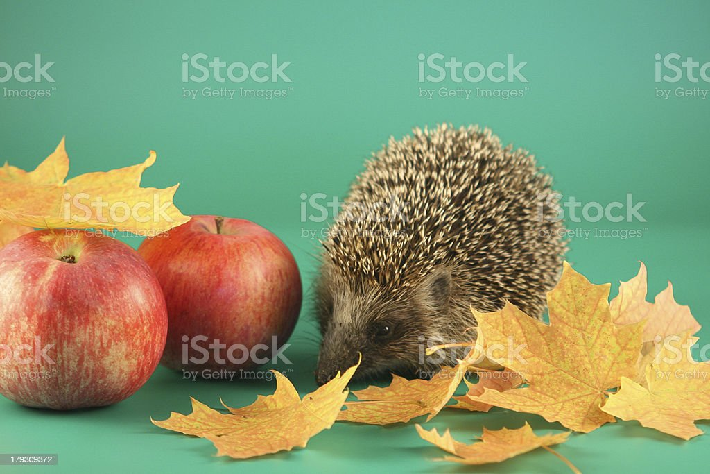 Autumn hedgehog with apples and maple leaves. royalty-free stock photo
