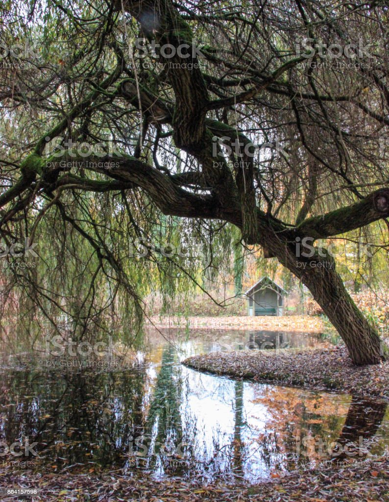 Autumn image of a willow at the lake royalty-free stock photo