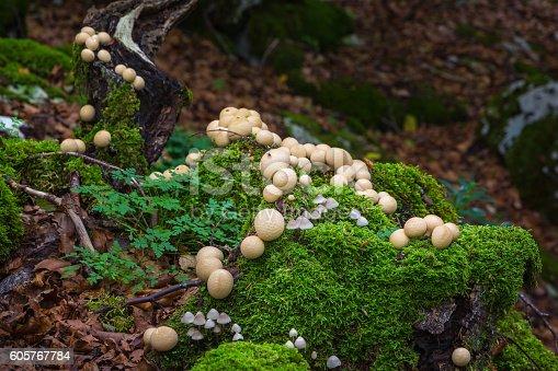 Group of mushrooms photographed in autumn beech forest in the Sierra de Urbasa, Navarra, Spain