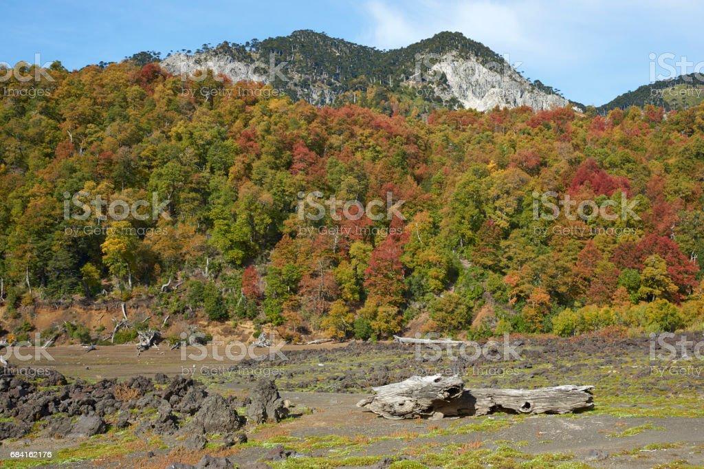 Hösten i Conguillio nationalpark, Chile royaltyfri bildbanksbilder