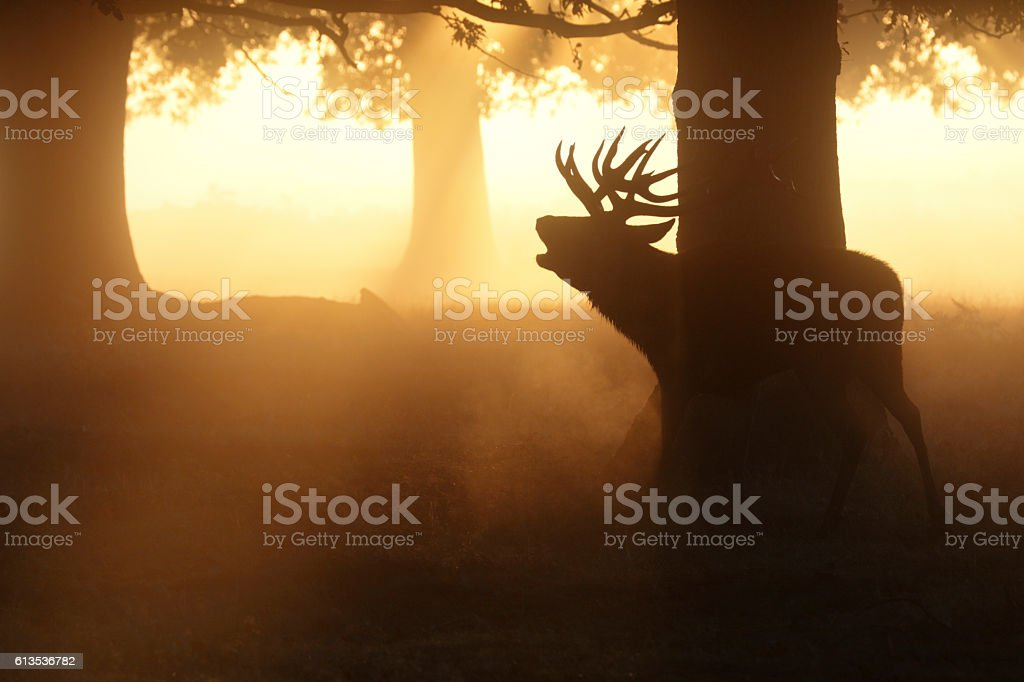 Woodland stag roaring in the rut  autumn landscape stock photo