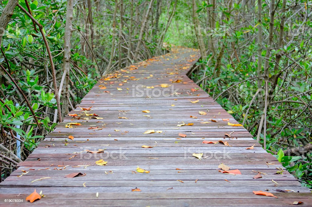 Autumn in mangrove forest with wood walkway bridge. stock photo