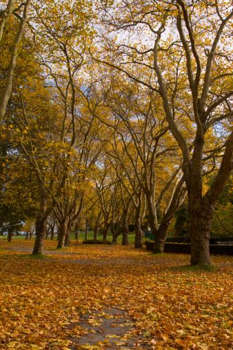 Autumn maple leaf.  Leaf fall.  Autumn