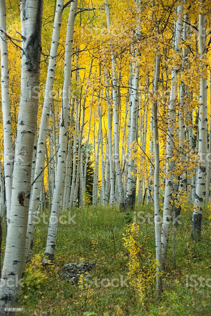 Autumn In The Aspen Grove stock photo