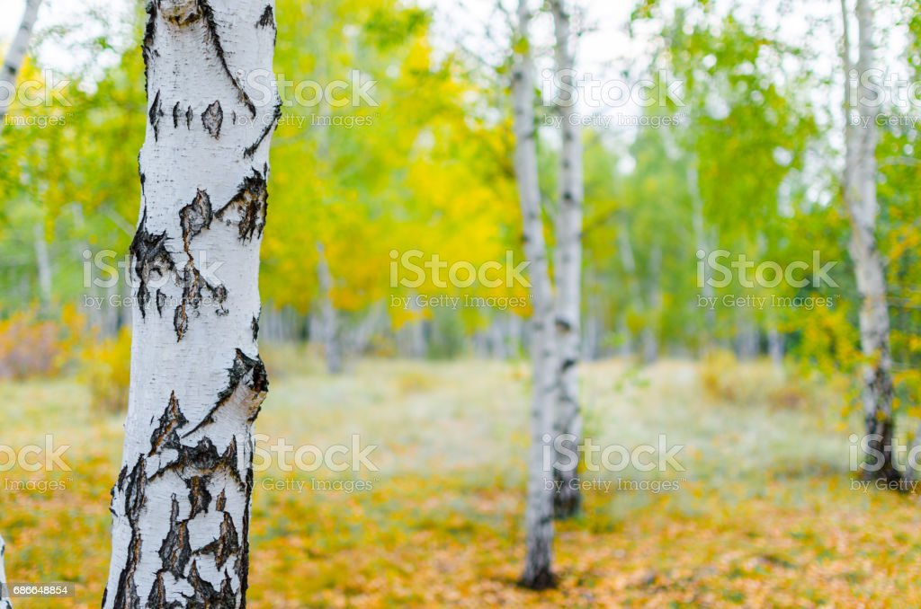 Autumn in the birch forest royalty-free stock photo