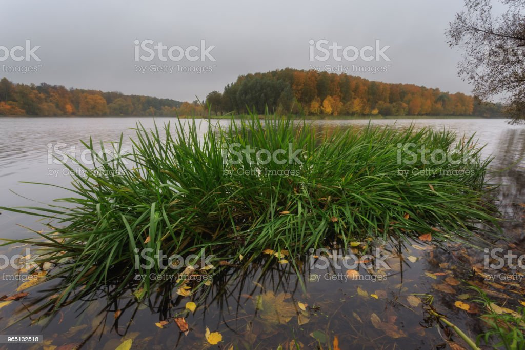 Autumn in the city park. Large garden pond in Timiryazevsky Park. In the water grows a large green bush, floating yellow leaves and one apple. In the background, forest and cloudy sky zbiór zdjęć royalty-free