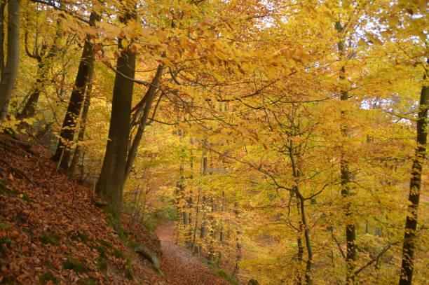 höst i skogen - bernkastel kues höst bildbanksfoton och bilder