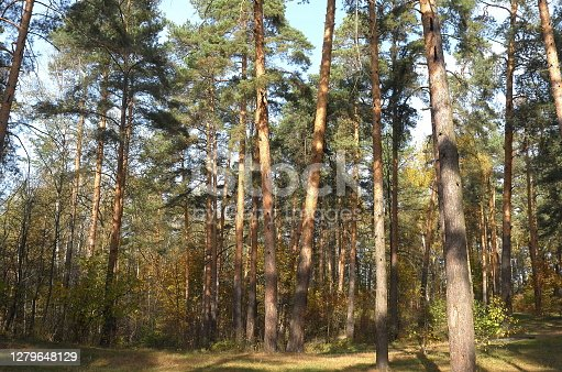 Sunny autumn day in the mixed forest