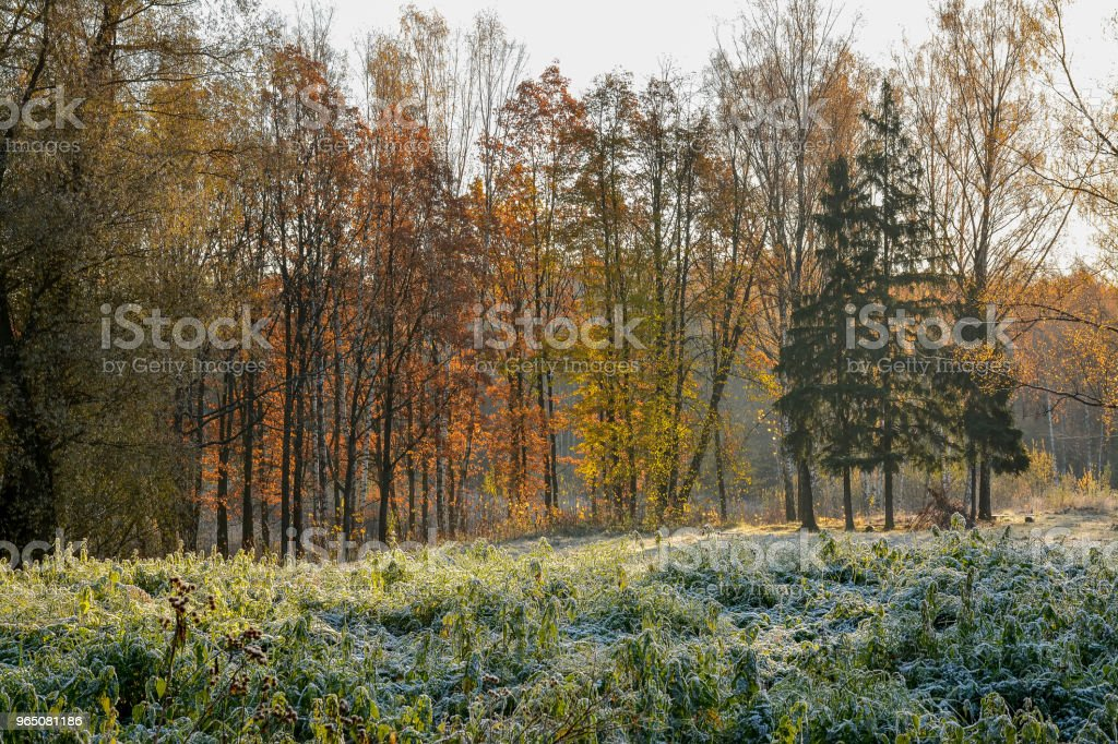 Autumn in the old forest Park. Nevsky forest Park is located in the Leningrad region. zbiór zdjęć royalty-free