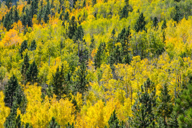 herbst in den rocky mountains - colorado tanne stock-fotos und bilder