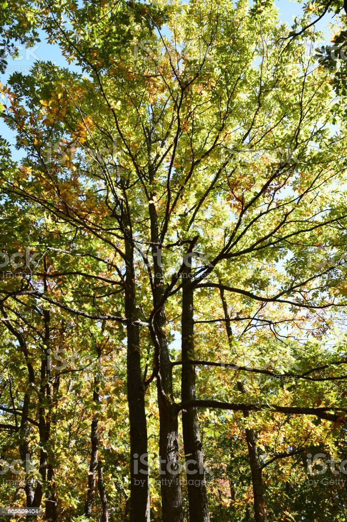 Autumn in the treetops of deciduous trees stock photo