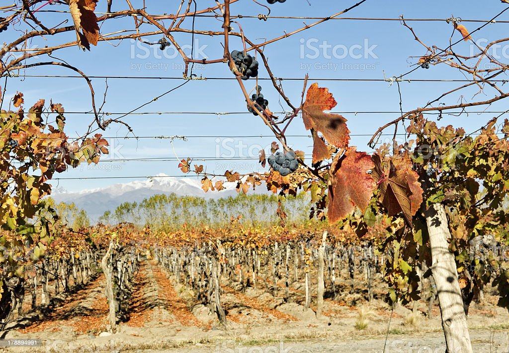 Autumn in the vineyard royalty-free stock photo