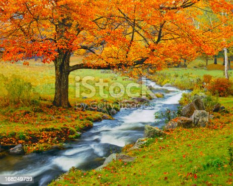 Autumn Sugar Maple Stands By A Small Rapidly Flowing Stream In The Green Mountains Of Vermont, USA