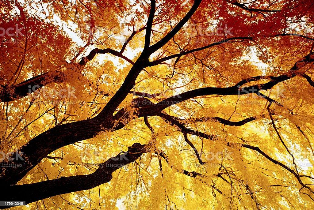 Autumn Infrared Willow stock photo