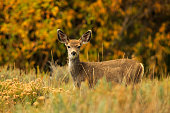 A young Mule Deer fawn in autumn Dixie National Forest at Panguitch Lake, Utah.
