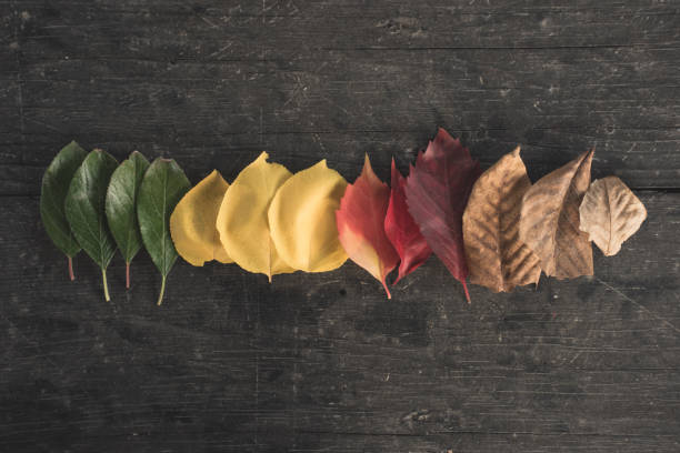 Autumn Is Coming Leaves in different stages on a wooden table four seasons stock pictures, royalty-free photos & images