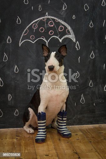 Funny portrait of a bull terrier dog wearing boots and sitting in front of the black wall with an umbrella and raindrops drawn on it.