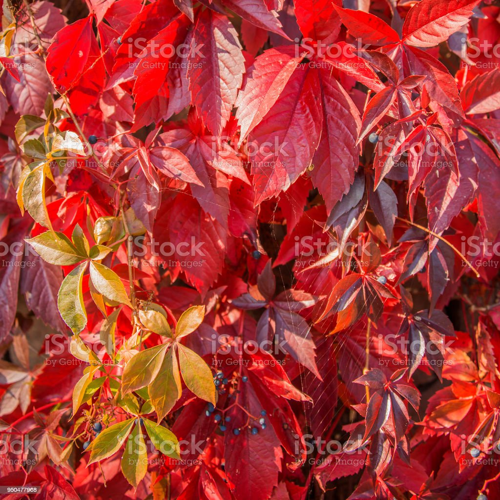 Autumn ivy golden and redish leaves stock photo