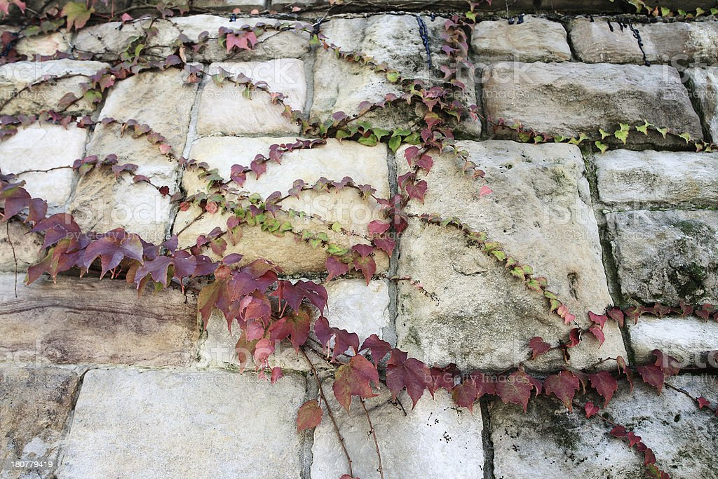 Autumn ivy leaves cover a stone wall royalty-free stock photo