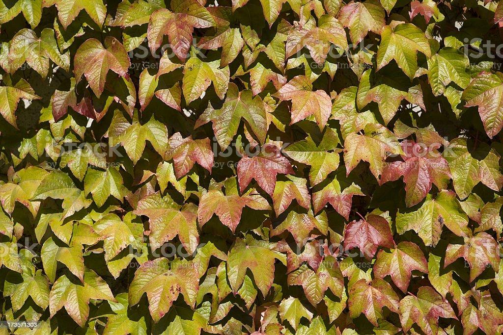 Autumn Ivy Leaves stock photo