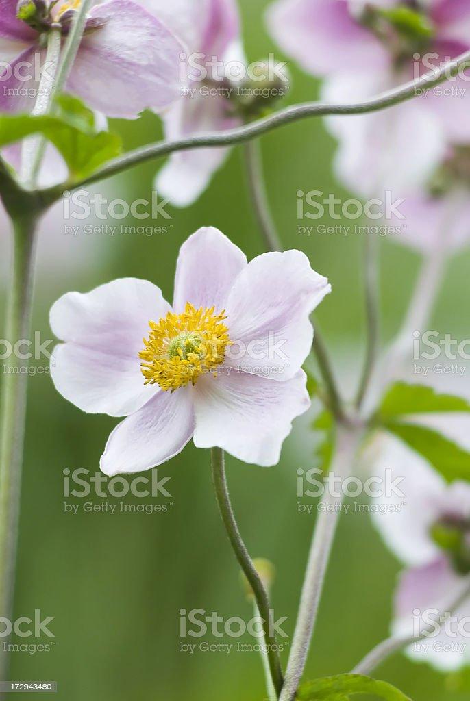 Autumn Japanese Anemone (Anemone hupehensis) - III royalty-free stock photo