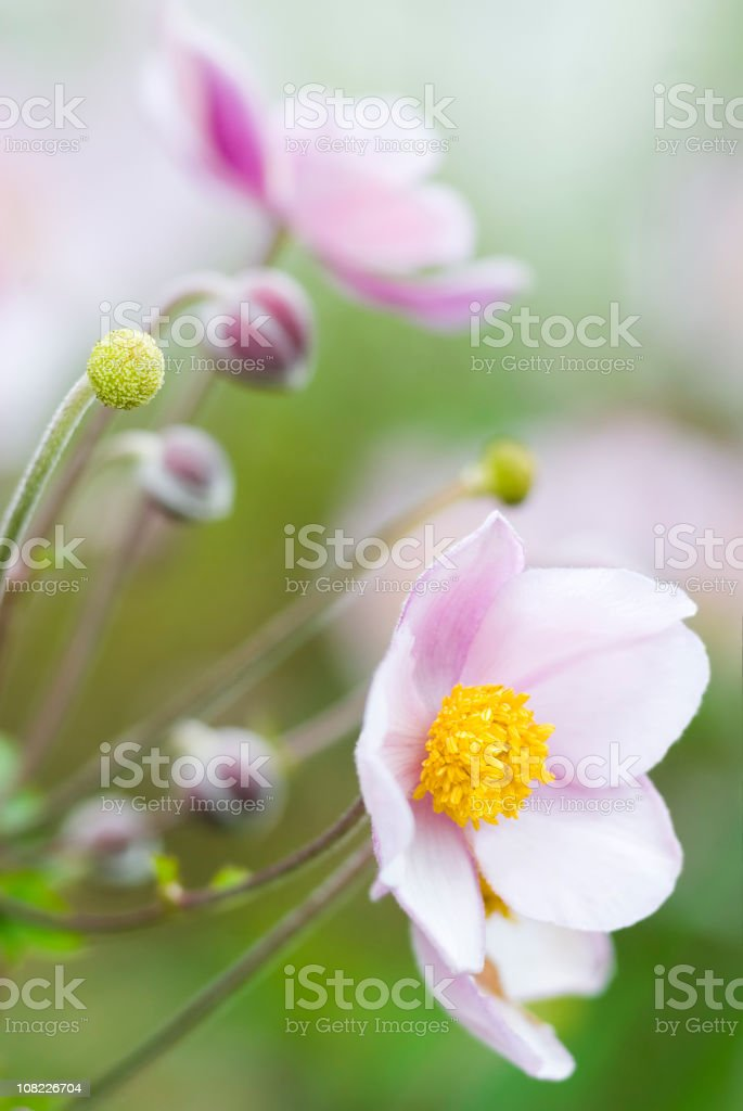 Autumn Japanese Anemone (Anemone hupehensis) - IV royalty-free stock photo