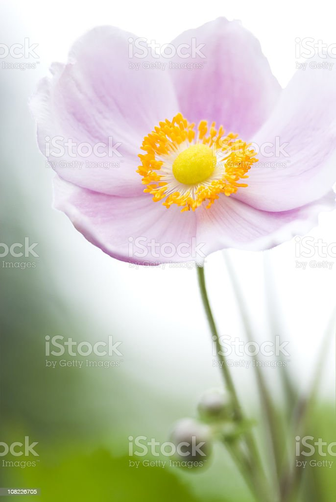 Autumn Japanese Anemone (Anemone hupehensis) - VI royalty-free stock photo