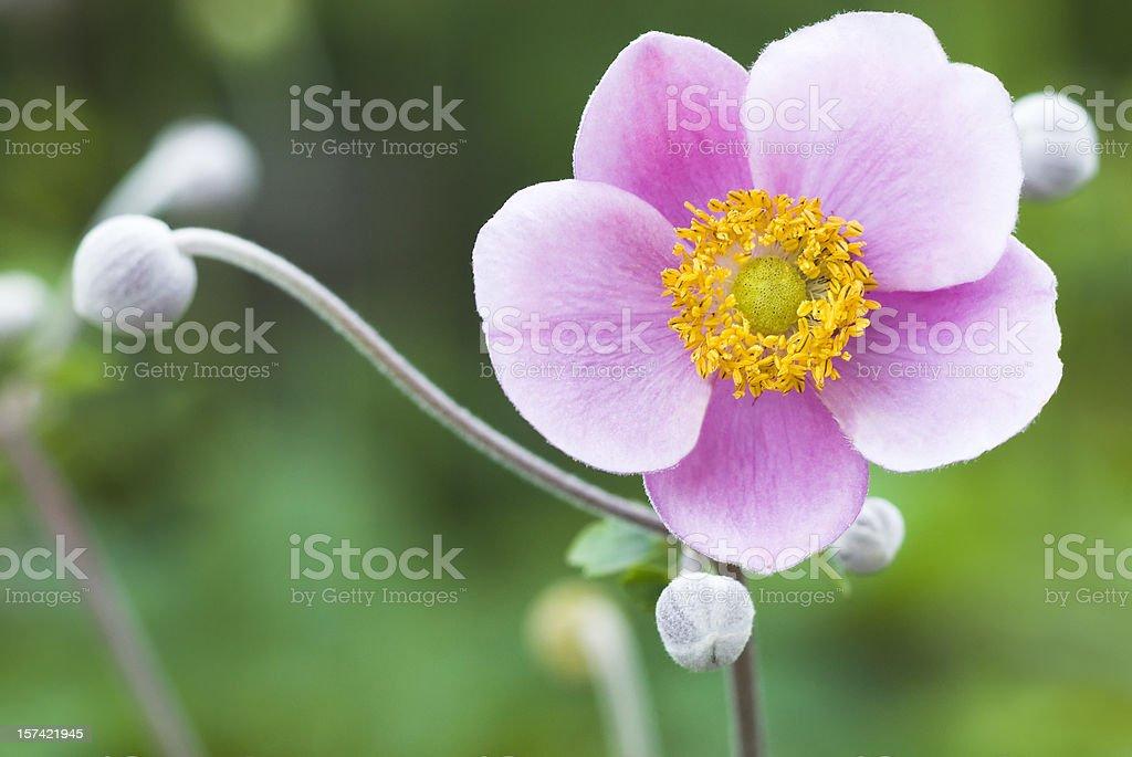 Autumn Japanese Anemone (Anemone hupehensis) - VII royalty-free stock photo