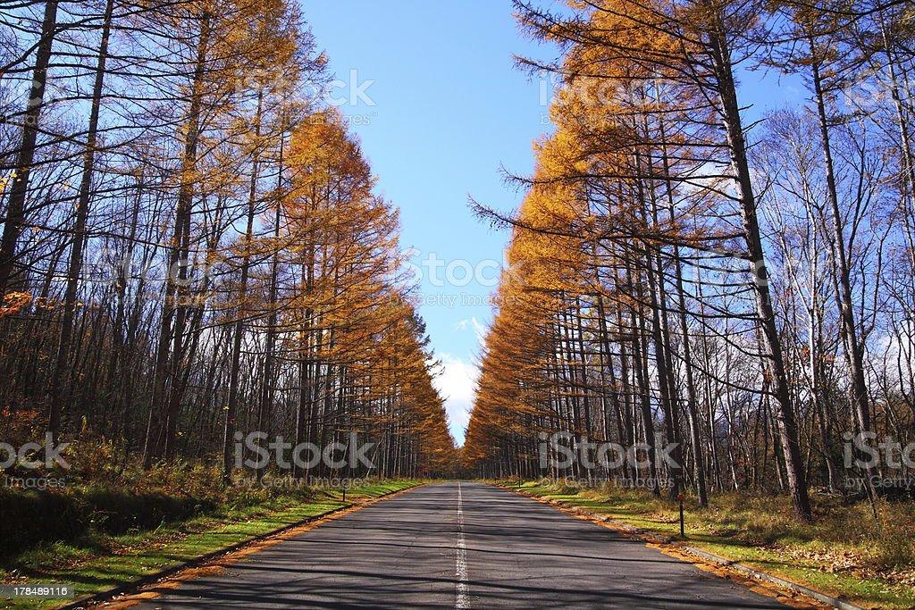 Autumn Japanese larch royalty-free stock photo