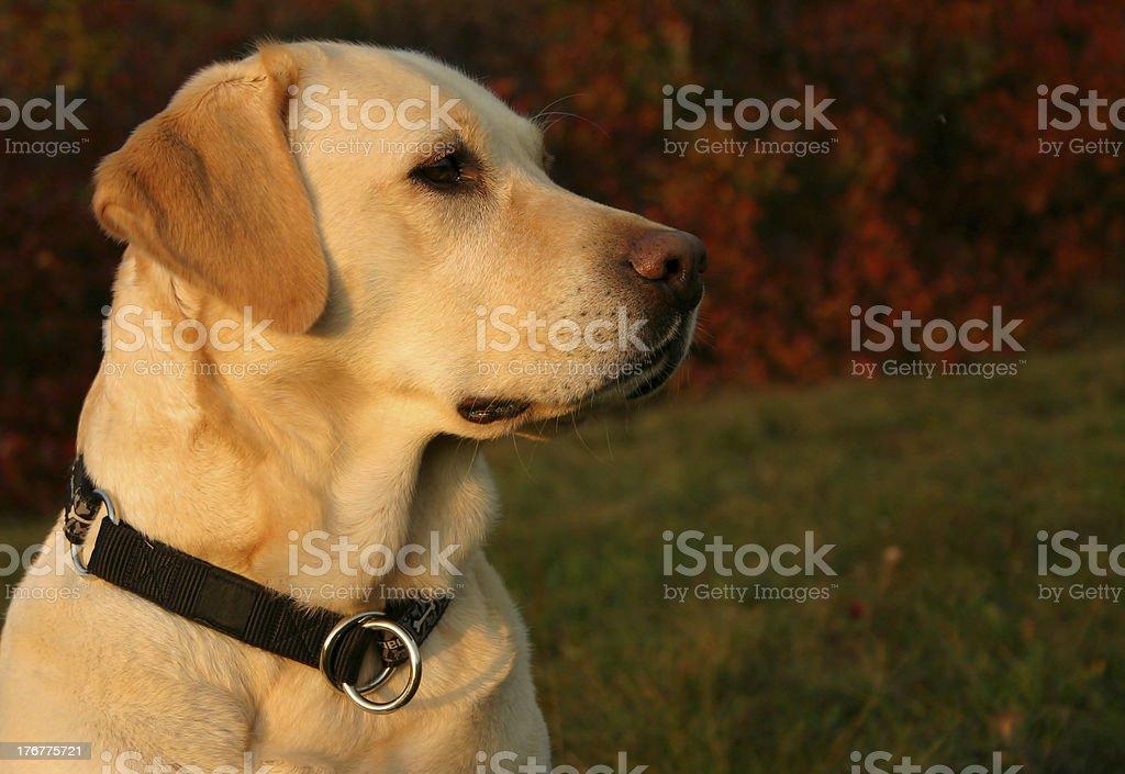 Autumn Labrador Portrait royalty-free stock photo