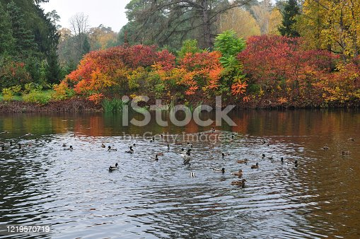 Autumn lake with floating ducks. Thickets of sumac (lat. Rhus) shrubby plants lakeside. Arboretum
