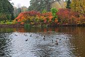Autumn lake with floating ducks. Thickets of sumac (lat. Rhus) shrubby plants lakeside. Arboretum \