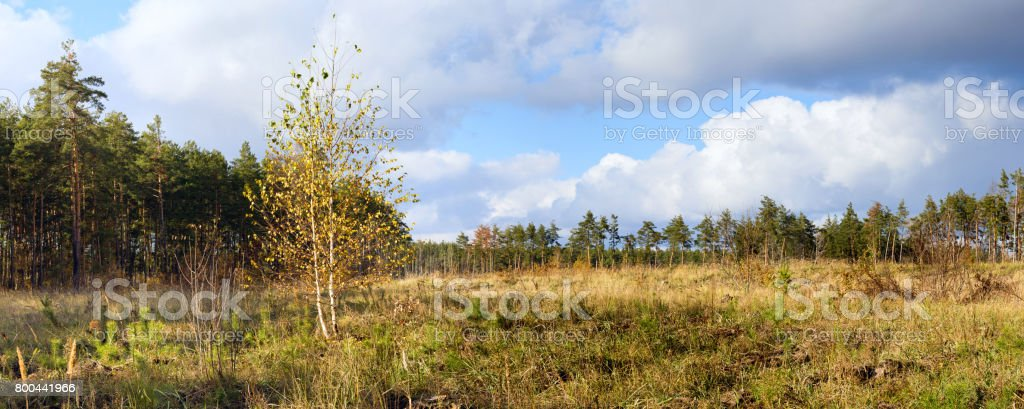 Autumn landscape banner, panorama -- birch on the background of meadows and pine forest stock photo