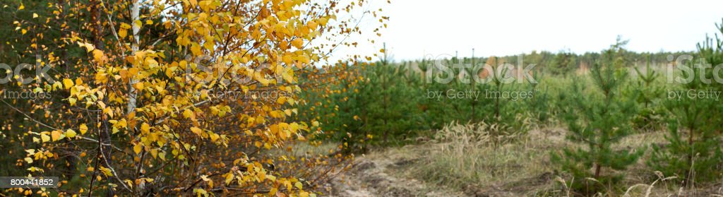 Autumn landscape banner, panorama -- birch on the background of the road and a young pine forest stock photo