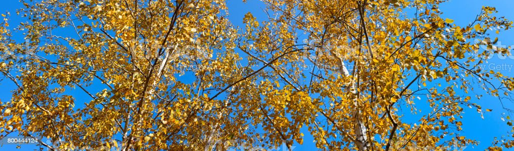 Autumn landscape banner, panorama - birch with yellow leaves against the blue sky stock photo