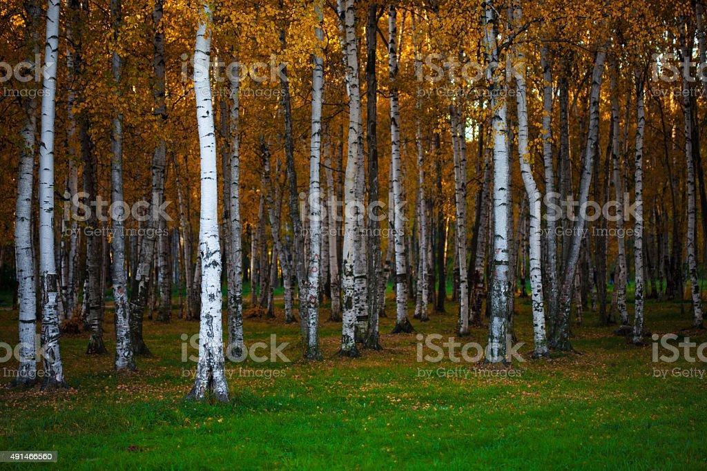 Autumn landscape, dense birch forest, natural background stock photo