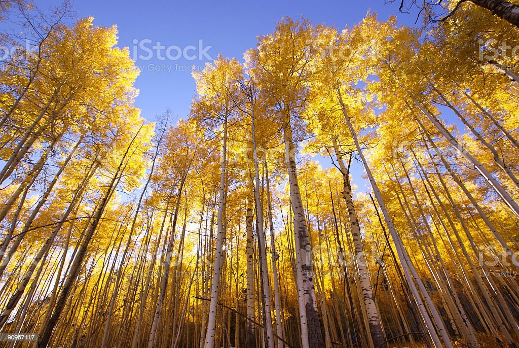 autumn landscape forest yellow aspen trees stock photo
