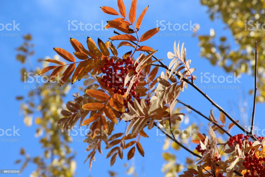 Autumn landscape / Fruits of red mountain ash with colored leaves against the sky and clouds / royalty-free stock photo