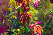 Autumn landscape on a Sunny day - red leaves of wild grapes