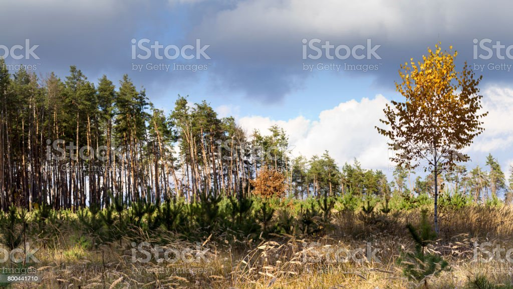 Autumn landscape, panorama -- birch on the background of meadows and pine forest stock photo