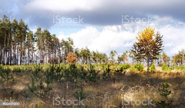 Autumn landscape panorama birch on the background of meadows and pine picture id800441930?b=1&k=6&m=800441930&s=612x612&h=ijxaa7k6m7seyfocwjgylcyftbpgxwlbefcofagcwf0=