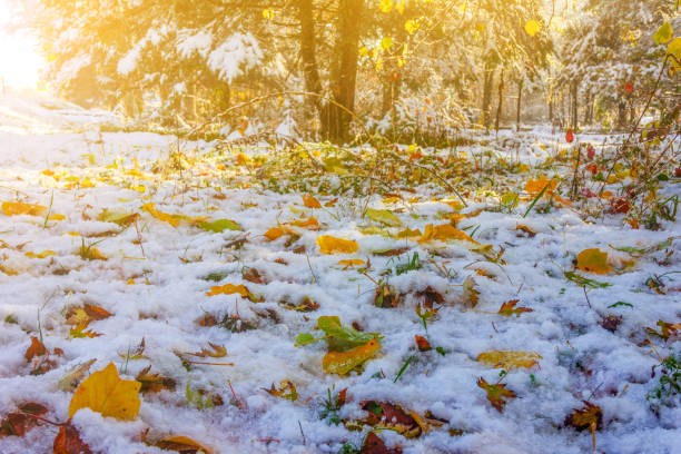 herbstlandschaft mit hellen ahornblättern auf dem schnee im park an einem sonnigen novembermorgen - laub winter stock-fotos und bilder