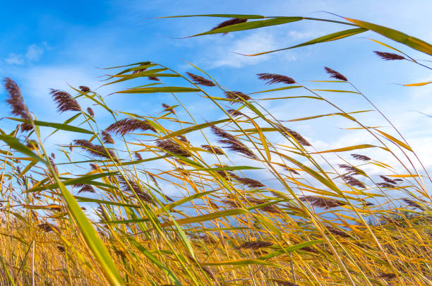 sonbahar yatay, reed bitki - rüzgar stok fotoğraflar ve resimler