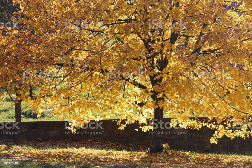 Autumn landscape. Yellowed tree crown illuminated by soft sunlight. Lime tree or linden with yellow leaves stock photo