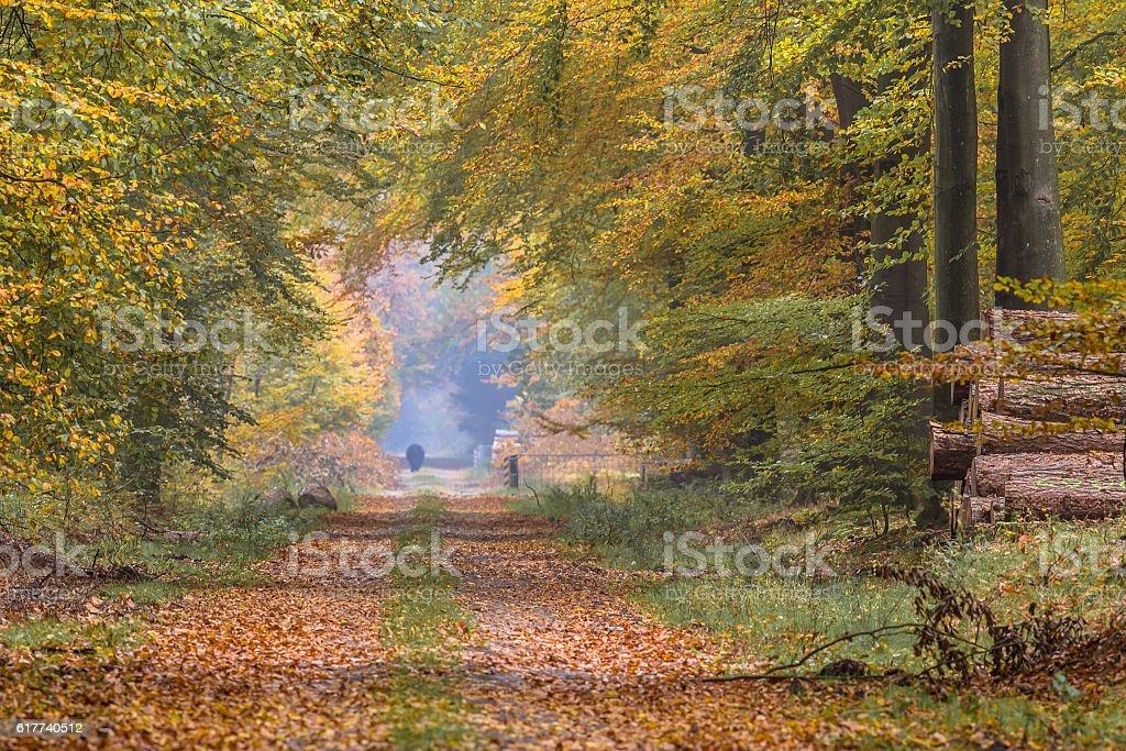 Autumn lane with large Beech trees stock photo
