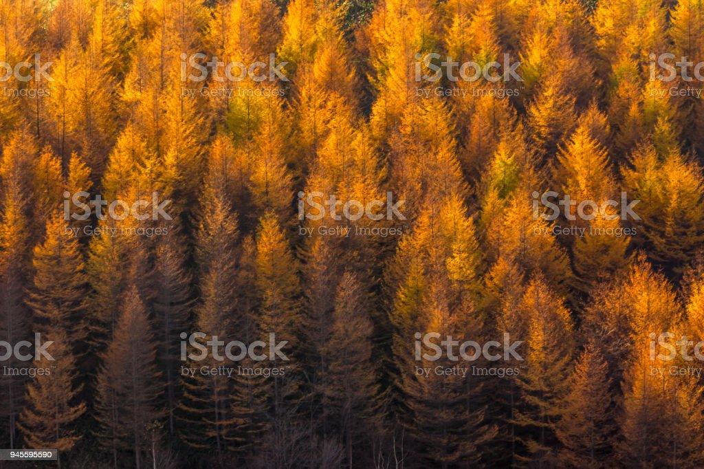 Alerce bosque de otoño - foto de stock