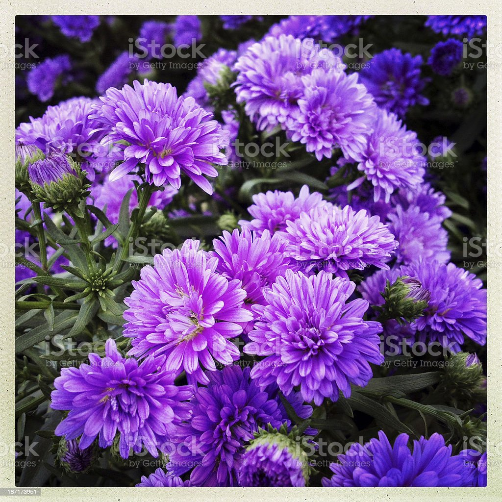 Autumn Lavender Chrysanthemums royalty-free stock photo