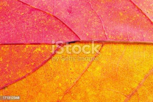 istock Autumn Leaf Close-Up 171312348