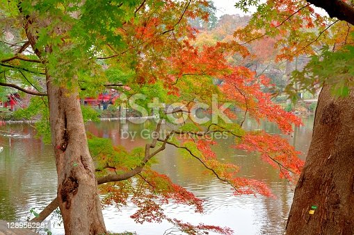 Beautiful autumn color leaf of Inokashira Park with its reflection on the lake.  Inogashira Park is a public park bordering Kichijoji City and Musashino City of Tokyo Prefecture.